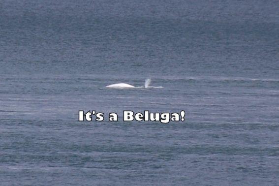 Beluga Quebec