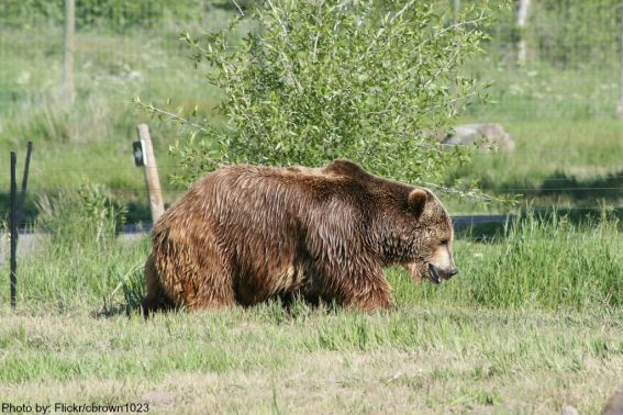 Yellowstone Bear World  Flickr/cbrown1023