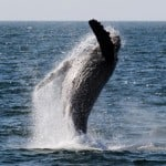 humpback breaching 04-21-09